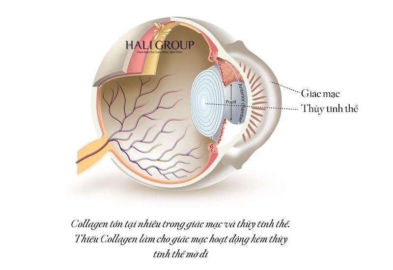 collagen còn chiếm phần lớn đến cấu tạo của mắt