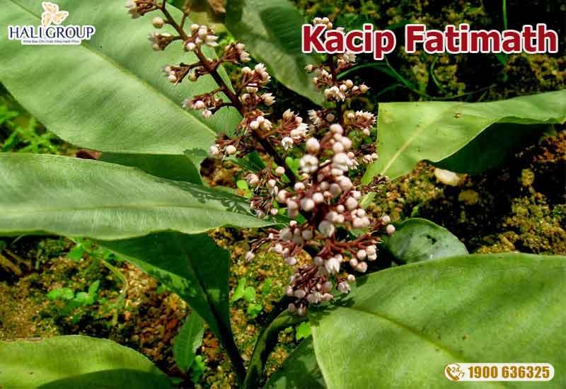 Kacip-Fatimath